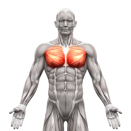 chest muscles illustration