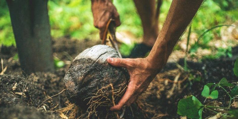 close up of a man opening a coconut in the forest